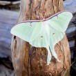 Luna moth in cypress swamp — Stock Photo