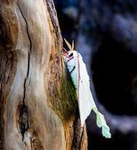 Luna moth on cypress stump — Stock Photo