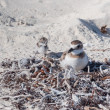 Plover mother with chick — Zdjęcie stockowe