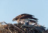 Nido de águila pescadora con madre y mujer — Foto de Stock