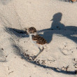 Stock Photo: Plover chick on adventure