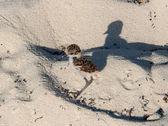 Plover chick on adventure — Stock Photo