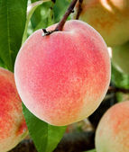 Fresh peach on trees — Stock Photo