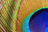 Peacock feather closeup — Stock Photo