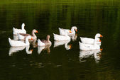 Geese on a warm afternoon — Stock Photo