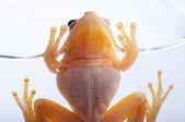 Tree frog on rim of glass — Stock Photo