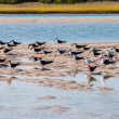 Skimmers in mid-Atlantic coastal marsh — Stock Photo