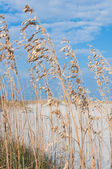 Sea oats and sand dunes on a sunny day — Stock Photo
