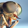 Portrait of a horse-fly insect — Stock Photo