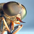 Stock Photo: Portrait of a horse-fly insect