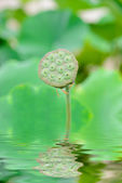 Nelumbo, — Stock Photo