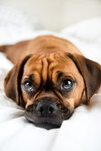 Cute Puggle Sleeping in Owners Bed — Stock Photo