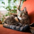 Brown and Gray Tabby Cat Relaxing Inside on Vintage Red Chair — Stock Photo