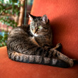 Stock Photo: Brown and Gray Tabby Cat Relaxing Inside on Vintage Red Chair