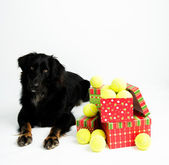 Black Dog with Pile of Tennis Balls for Christmas — Stock Photo