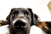 Black Dog in Owner's Bed — Stock Photo