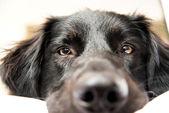Black Dog in Owner's Bed — Stock Photo