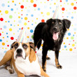 Black and Brown Dogs Wearing Striped Party Hats — Stock Photo #29041975