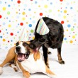 Stock Photo: Black and Brown Dogs Wearing Striped Party Hats