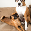 Stock Photo: Two Dark Fawn Dogs