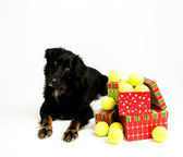 Czarny pies z kupie piłek tenisowych na boże narodzenie — Zdjęcie stockowe