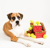 Tmavě plavá pes s hromadu tenisové míčky k vánocům — Stock fotografie