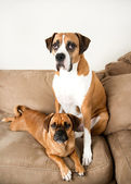 Two Dark Fawn Dogs Relaxing on Sofa — Stock Photo