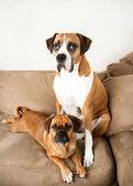 Iki karanlık açık kahverengi köpek kanepede rahatlatıcı — Stok fotoğraf