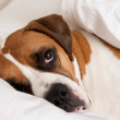 Boxer Dog Sleeping Between Sheets on Owner's Bed — Stock Photo #29052183