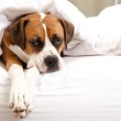 Boxer Dog Sleeping Between Sheets on Owner's Bed — Stock Photo