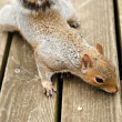 Cute Squirrel Eating Nut on Deck — Stock Photo