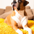 Boxer Mix Dog Relaxing on Couch — Stock Photo