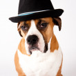 Boxer Mix Dog in Black Fedora Hat — Stock Photo