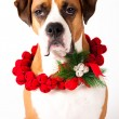 Beautiful Dark Fawn Boxer Mix Dog With Christmas Wreath Made of Red Bells — Stock Photo