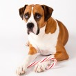 Smart Fawn Colored Dog Guarding Christmas Candy Cane on White Background — Stock Photo