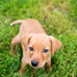 Dachshund and Hound mix Puppy — Stock Photo