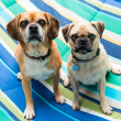 Stock Photo: Two Cute Puggle Dogs