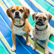 Two Cute Puggle Dogs — Stock Photo