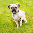 Stock Photo: Cute Older Puggle Dog