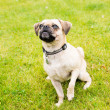 Cute Older Puggle Dog — Stock Photo