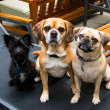 Stock Photo: Two Puggle Dogs