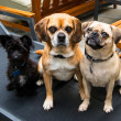 Two Puggle Dogs — Stock Photo