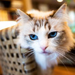 Cute cat with blue eyes — Stock Photo
