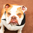 English Bulldog — Stock Photo #29072551