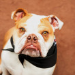 Stock Photo: English Bulldog