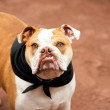 English Bulldog — Stock Photo #29072627