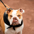 English Bulldog — Stock Photo #29072631