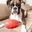 Stock Photo: Boxer Puppy playing with Toy