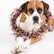 Boxer Mix Dog With Easter Wreath — Stock Photo