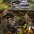 Bullfrog, Rana catesbeiana, in Water — Stock Photo